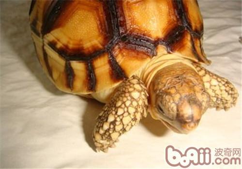 安哥洛卡陆龟品种简介