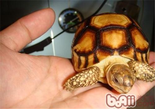 安哥洛卡陆龟吃什么?