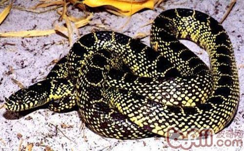 澳洲老虎蛇的生活环境要求