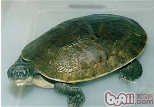 澳北盔甲龟的饲喂方法