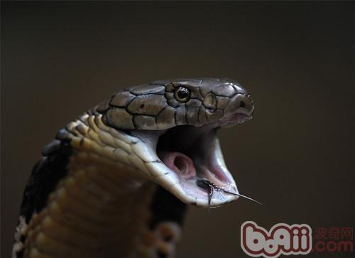 埃及眼镜蛇的摄食介绍