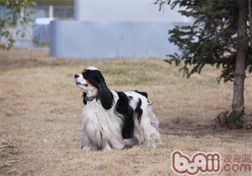 美国可卡犬的养护知识
