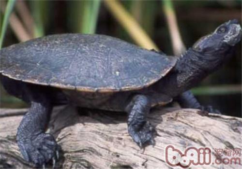 澳北盔甲龟的养护知识