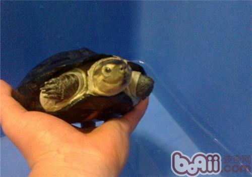 粗颈龟的饲养要点