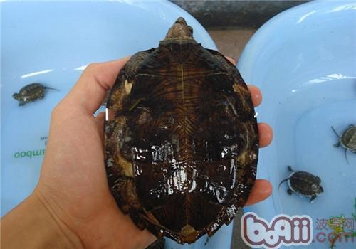齿缘摄龟的养护常识