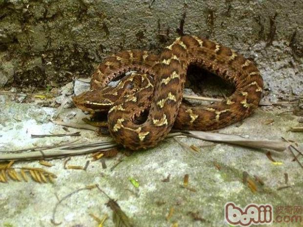 饲养白眉蝮蛇的环境要求