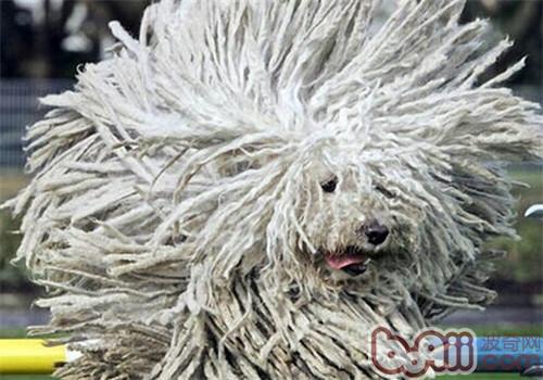 波利犬的品种简介