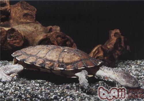 刺股蛇颈龟的生活环境