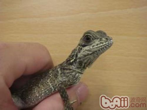 斑帆蜥的品种简介
