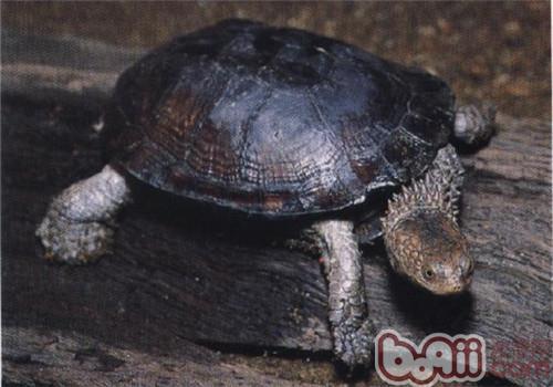 刺股蛇颈龟的品种简介