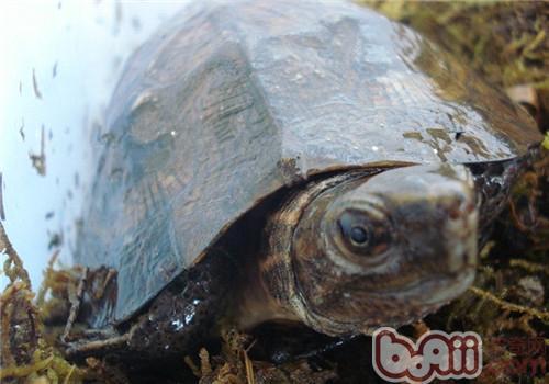 齿缘摄龟的品种简介