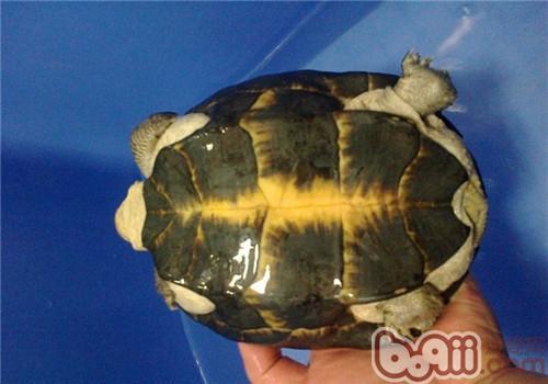 粗颈龟的生活环境
