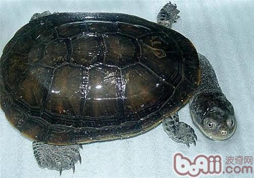 刺股蛇颈龟的养护要点