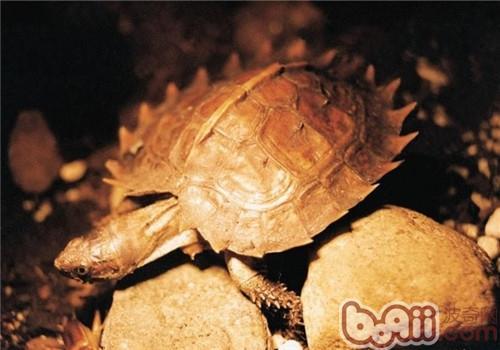 刺山龟稚龟的养护方法