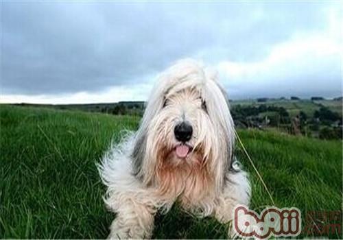 伯瑞犬的品种简介