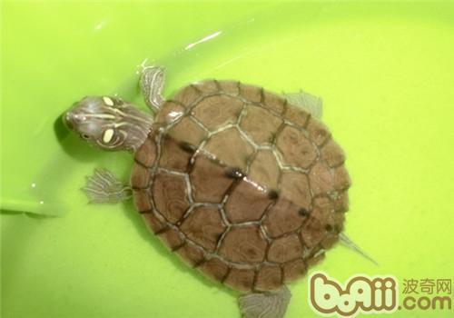 地图龟的食物选择