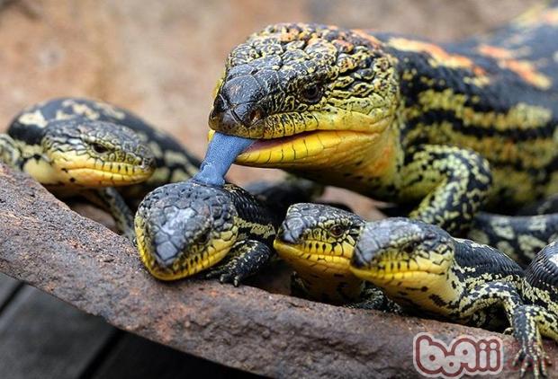 斑点蓝舌蜥的喂食要求