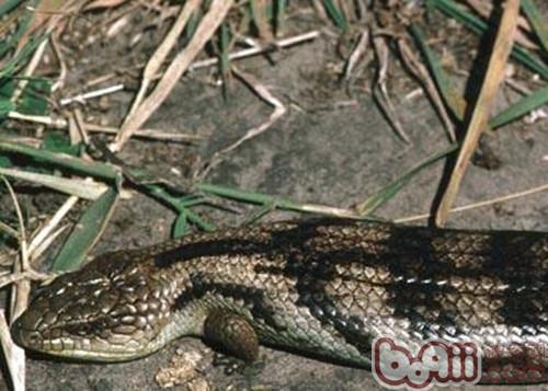斑点蓝舌蜥的品种简介
