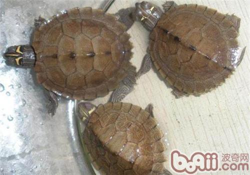 地图龟的形态特征