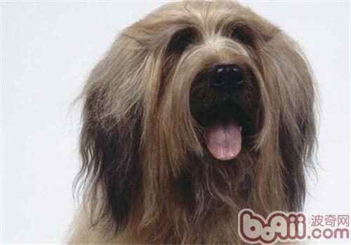 伯瑞犬的形态特征