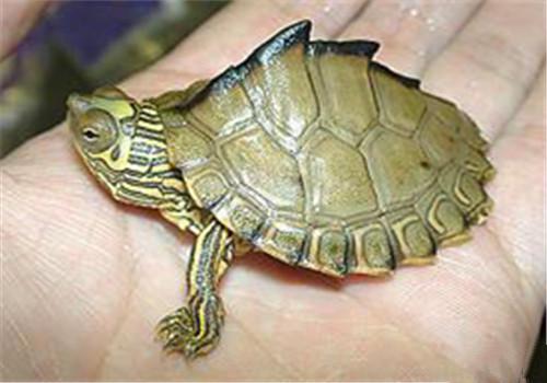 地图龟的生活环境