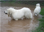 大白熊犬的品种简介