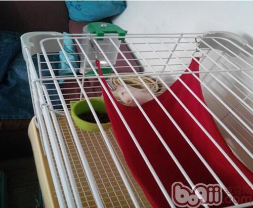 雪貂饮水中(笼子内包含休息的吊床,自动喂水器,食盆,还需要留有活动的区域)
