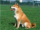 柴犬的性格特點