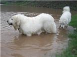 大白熊犬的性格特点