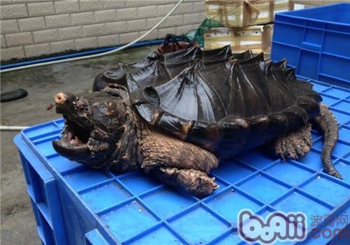 大鳄龟的养护常识