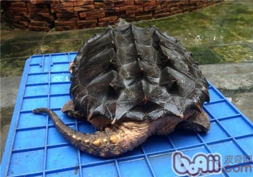 大鳄龟的形态特征