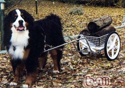 伯恩山犬的养护知识