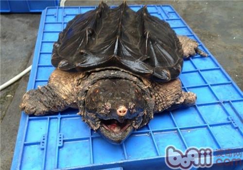 大鳄龟的生活环境