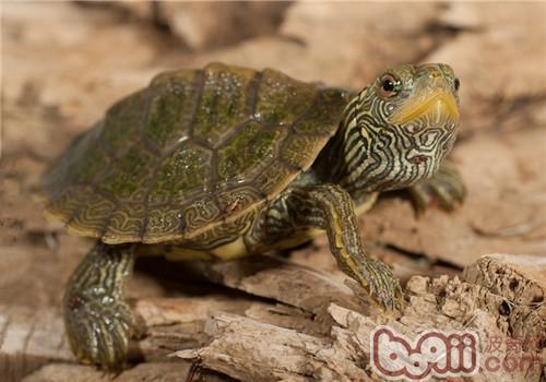 地图龟的养护重点