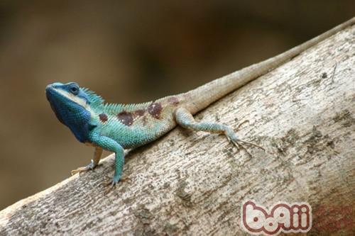 白唇树蜥的饲养环境要求