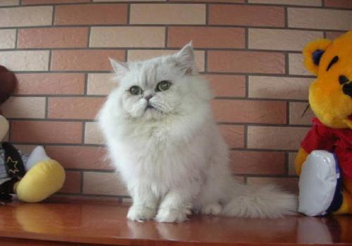 褴褛猫的形态特征