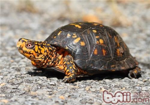 东部箱龟的形态特征