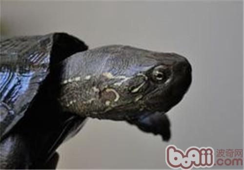 大头乌龟的养护要点