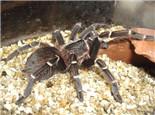 巴西橙间食鸟蜘蛛的外形特点