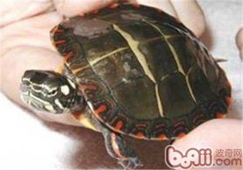 东部锦龟的饲养方法