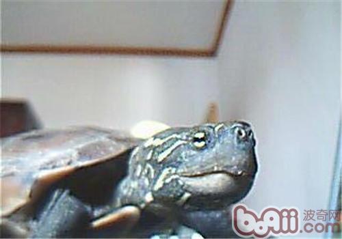 大头乌龟品种简介
