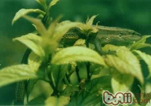 白条草蜥的饲养环境要求