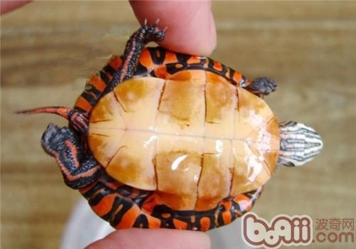 东部锦龟合理的食物配比建议