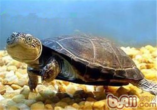 东非侧颈龟的养护重点