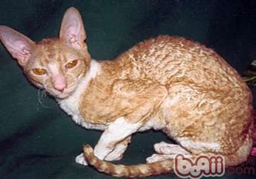 柯尼斯卷毛猫和德文卷毛猫的区别图片