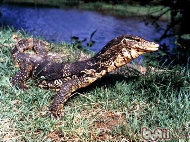 白条草蜥的外形特点
