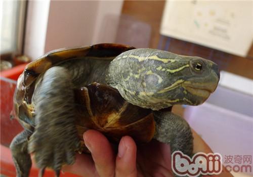 大头乌龟,大头乌龟价格 大头乌龟多少钱一只 大头乌龟好养吗 波奇宠