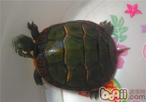 东部锦龟的形态特征介绍