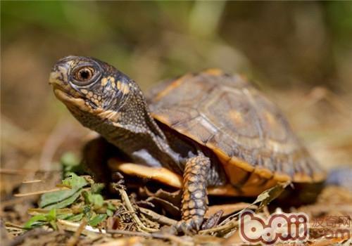 东部箱龟的环境布置