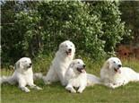 大白熊犬的养护知识